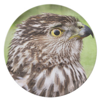 Beautiful falcon portrait plates