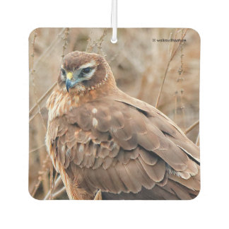 Beautiful Female Northern Harrier in the Marsh Car Air Freshener