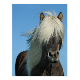BEAUTIFUL FJORD PONY HORSE STALLION POSTCARD
