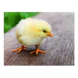 Beautiful fluffy Yellow Chicken Postcard