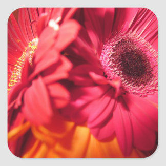 Beautiful Gerberas closeup Square Sticker