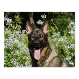 Beautiful German Shepherd dog Poster