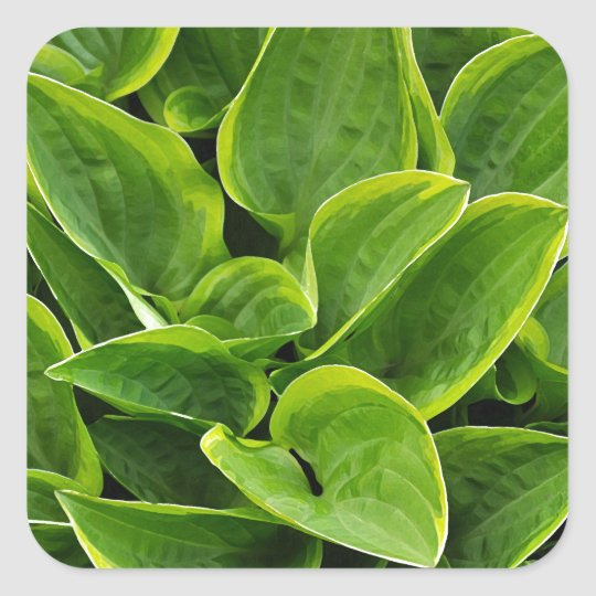 Beautiful green hosta plant square sticker