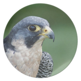 Beautiful grey-white Pelegrine Falcon Dinner Plate