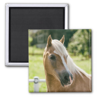 Beautiful haflinger horse portrait square magnet