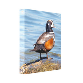 Beautiful Harlequin Duck on the Rock Canvas Print