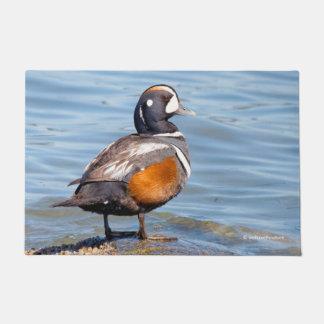Beautiful Harlequin Duck on the Rock Doormat
