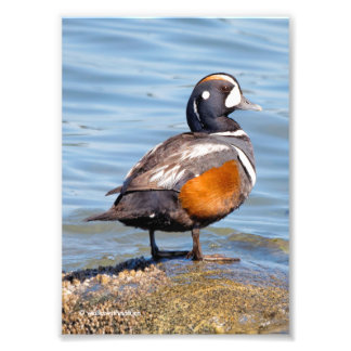 Beautiful Harlequin Duck on the Rock Photo Print
