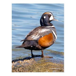Beautiful Harlequin Duck on the Rock Postcard