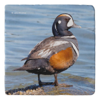 Beautiful Harlequin Duck on the Rock Trivet