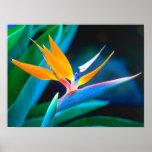 Beautiful Hawaii Bird of Paradise Poster