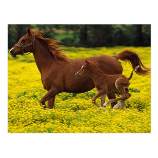 Beautiful horses run on the land  yellow flowers postcard