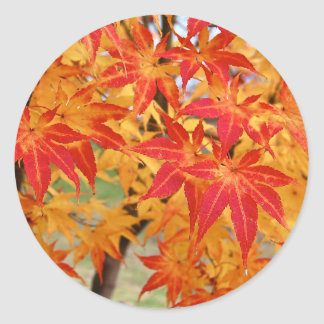 beautiful japanese maple tree in fall classic round sticker