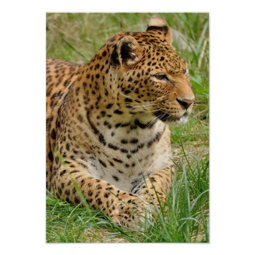 Beautiful leopard lying on the ground poster
