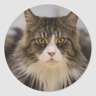 Beautiful maine coon round sticker