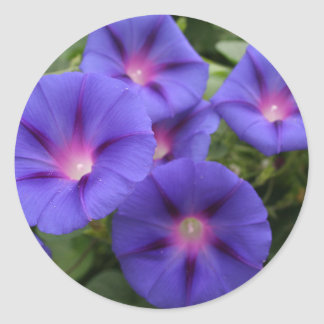 Beautiful Morning Glories in Bloom Classic Round Sticker