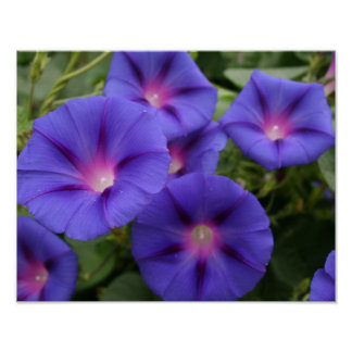 Beautiful Morning Glories in Bloom Poster