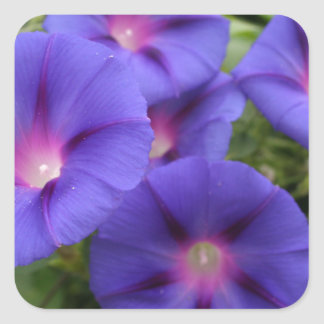 Beautiful Morning Glories in Bloom Square Sticker