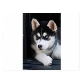 Beautiful One Blue Eye Siberian Husky 2 Postcard