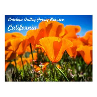 Beautiful Orange Poppy Flowers in a Field Postcard