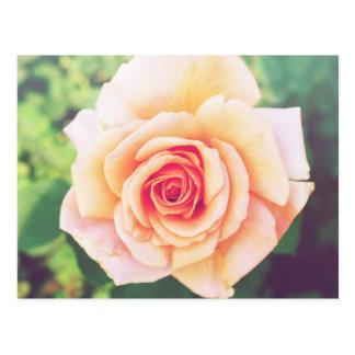 Beautiful orange rose blossom postcard
