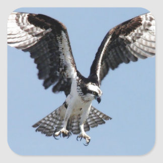 Beautiful Osprey bird Searching for prey Square Sticker