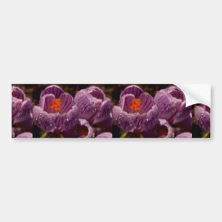 Beautiful Pair of dewy crocuses, soft-focus Bumper Stickers