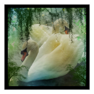 Beautiful pair of white swans swimming on a pond perfect poster