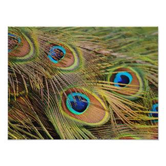 Beautiful Peacock Feathers Photo Art