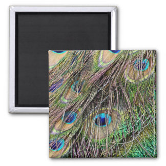 Beautiful Peacock Feathers Square Magnet