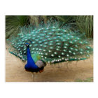 Beautiful Peacock Postcard