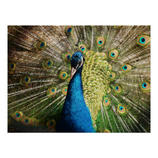 Beautiful peacock poster