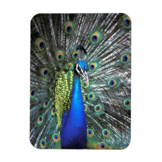 Beautiful peacock spreading colorful feathers rectangle magnet