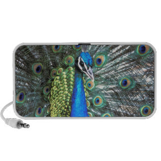 Beautiful peacock spreading colorful feathers iPhone speaker