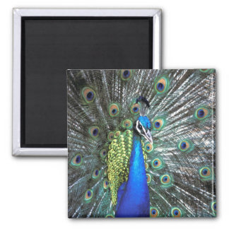 Beautiful peacock spreading colorful feathers square magnet