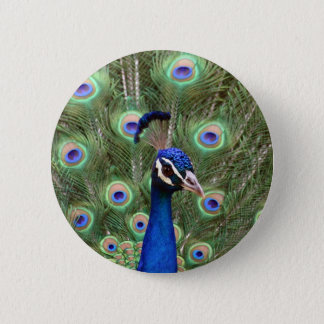 Beautiful peacock with its colorful tail opened 2 inch round button