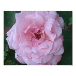 Beautiful Photo Print of  Pink Rose with Raindrops