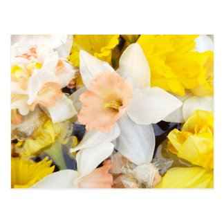 Beautiful photo spring daffodils floating on water postcard