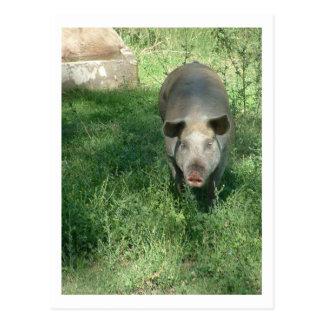 beautiful pig postcard