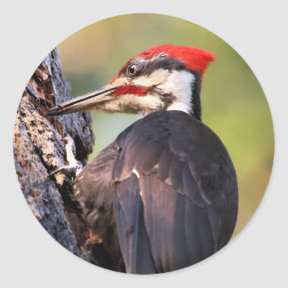 Beautiful Pileated Woodpecker on the Tree Round Sticker