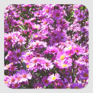 Beautiful Pink Aster Flowers Square Sticker