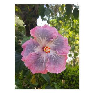 Beautiful Pink Hibiscus Flower Postcard