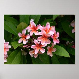 Beautiful pink Plumeria flower Poster