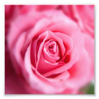 Beautiful Pink Rose Photograph
