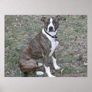 Beautiful pitbull boxer mixed breed mutt poster