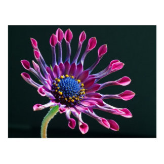 Beautiful purple African daisy Postcard