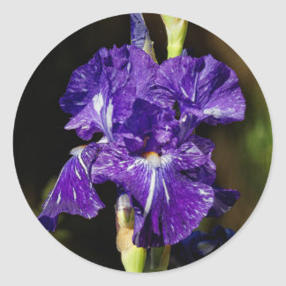 Beautiful Purple Bearded Iris in the Afternoon Sun Classic Round Sticker
