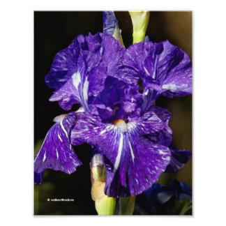 Beautiful Purple Bearded Iris in the Afternoon Sun Photo Print