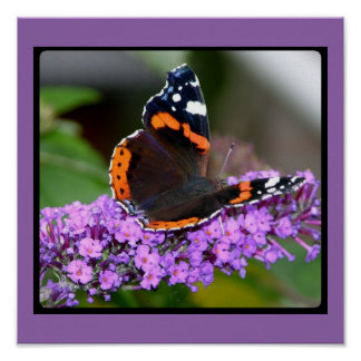 Beautiful Red Admiral Butterfly Poster