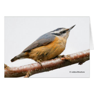 Beautiful Red-Breasted Nuthatch on a Branch Card